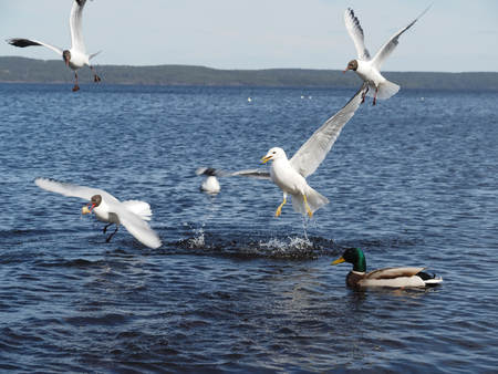 food fight: Gulls and duck in fight for food