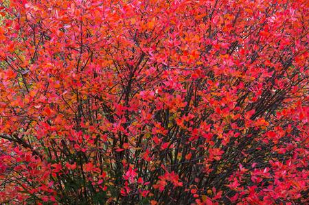 Aronia autumn leaves Stock Photo