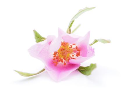 rosehips on white background