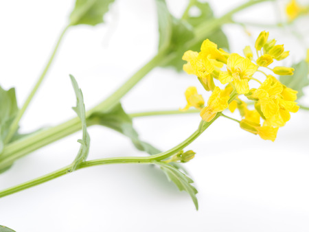 winter cress on white background photo