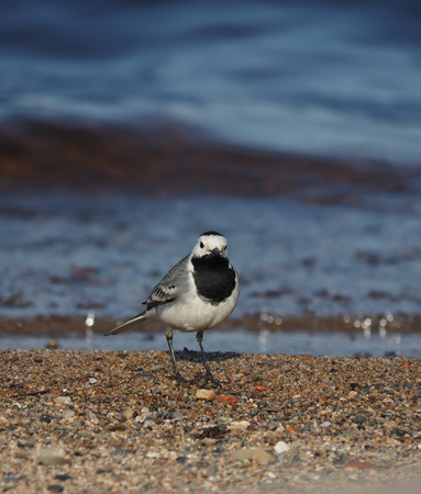 wagtail: wagtail on the lake