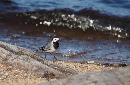 wagtail on the lake photo