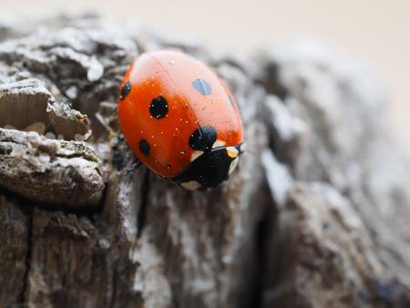 ladybug 免版税图像