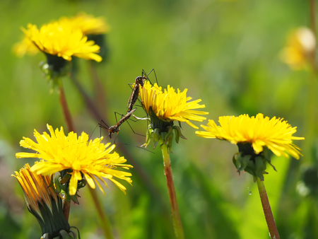Mosquito crane-fly on flower photo