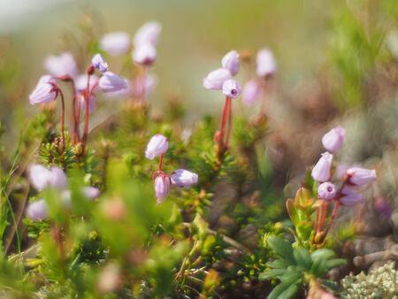 ericaceae: Phyllodoce flower