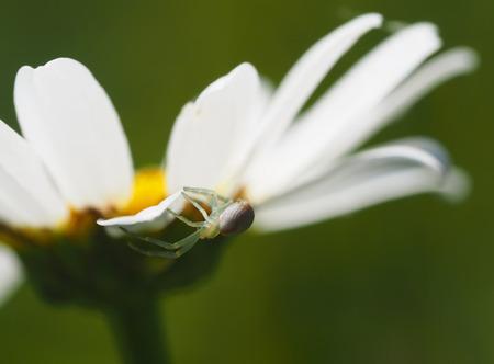Spider on daisy petals photo