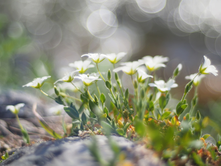 chickweed: chickweed flower Stock Photo