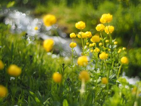 buttercups: globe-flowers Stock Photo