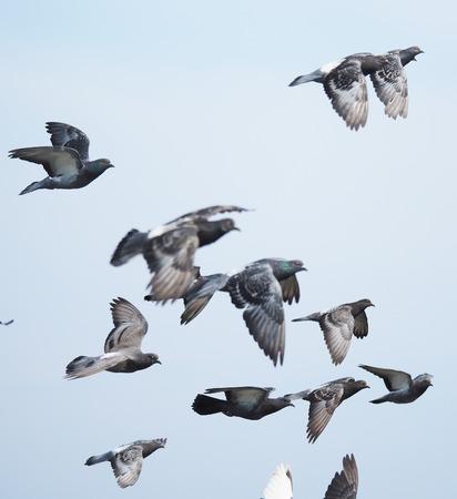 Herde von Tauben im Flug Standard-Bild - 30994525
