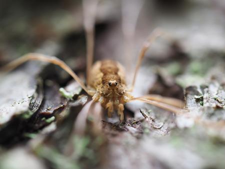 Opiliones spider photo