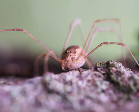 daddy long legs: Opiliones spider Stock Photo