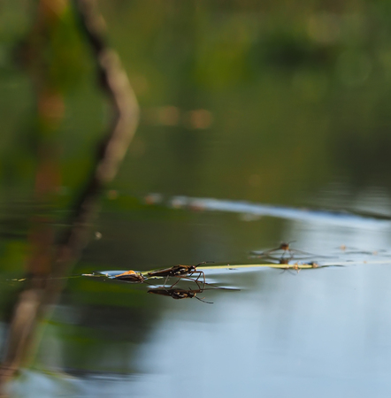 pond skater on water photo