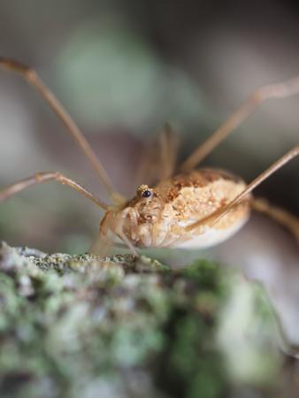 Opiliones spider Stock Photo