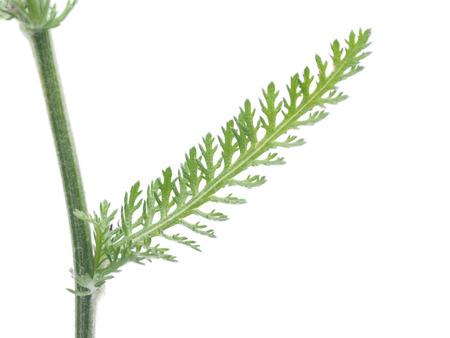 yarrow: yarrow leaf on a white background