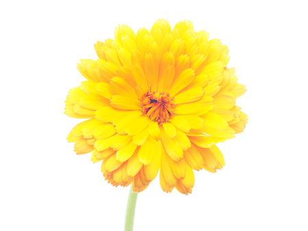 marigold flowers on a white background  photo