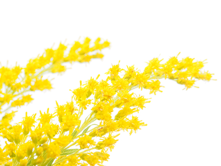 goldenrod: goldenrod on a white background