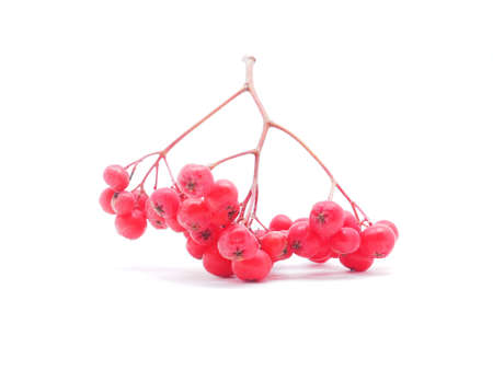 rowan berries on a white background photo