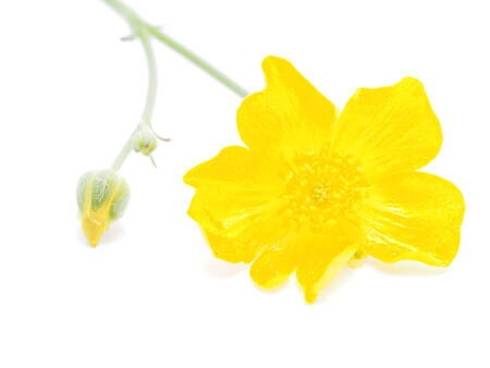 buttercup: buttercup on a white background Stock Photo