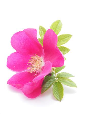 briar: briar flower