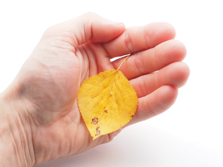 unwrapping: yellow leaf in a hand on a white background