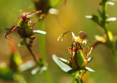 crabspider: Spider on flower