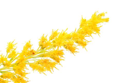 pedicel: goldenrod on a white background