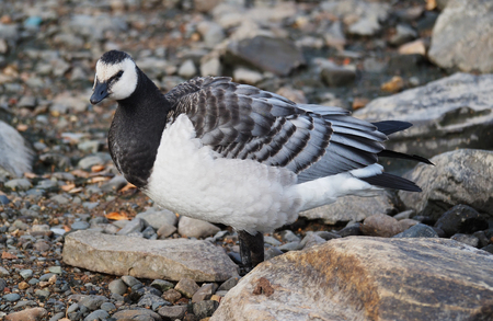 barnacle goose 스톡 콘텐츠