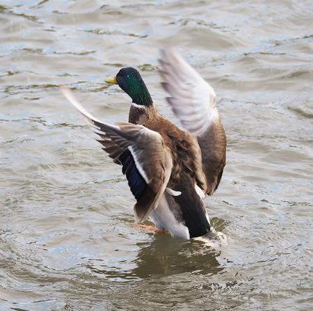 it's: duck flaps its wings