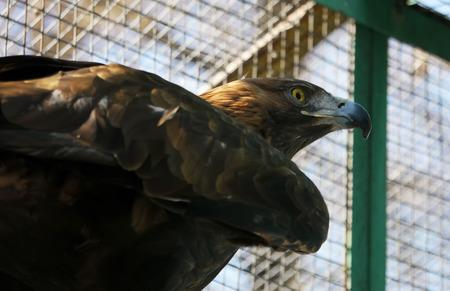 merlin falcon: eagle in a cage