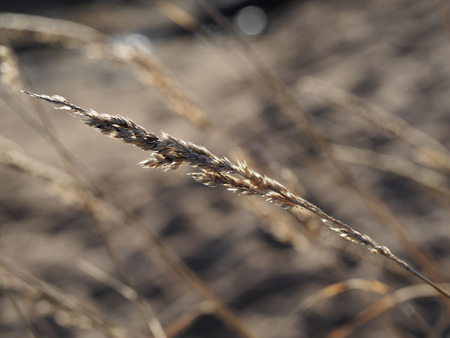 spikelet photo