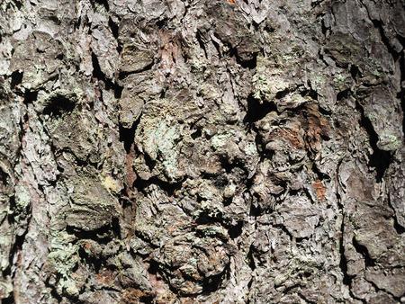 rubella: pine bark