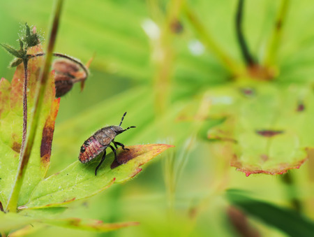 carabus: beetle in the grass