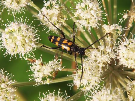 carabidae: beetle in the grass