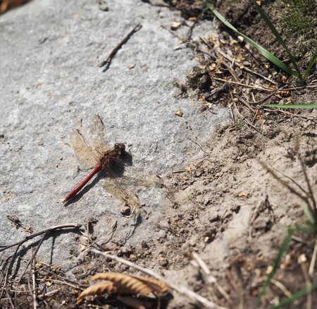 redtail: dragonfly on stone Stock Photo