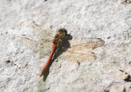 dragonfly on stone photo