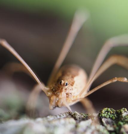 phalangida: Opiliones spider Stock Photo