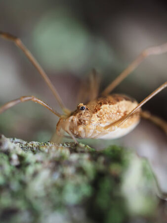 harvestman: Opiliones spider Stock Photo