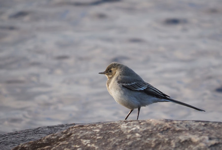 wagtail: Wagtail on the rocks