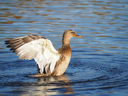 flaps: duck flaps its wings