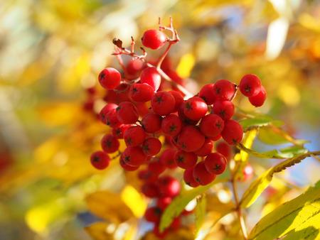 european rowan: rowan autumn Stock Photo