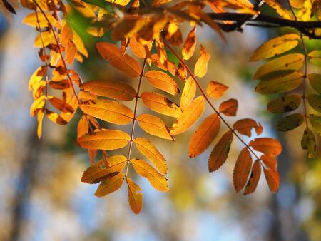 eberesche: Eberesche im Herbst