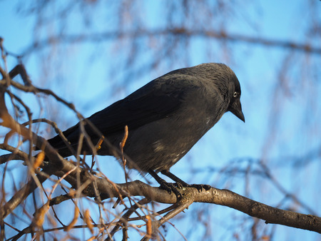 jackdaw in a tree photo