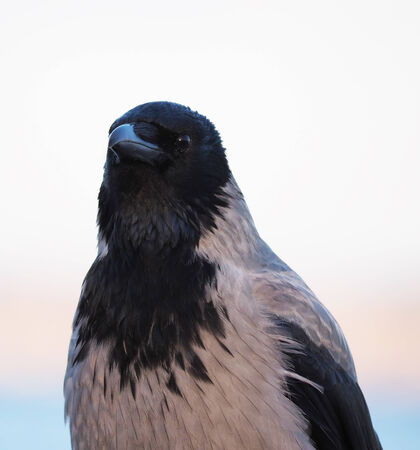 schein: crow in closeup shot