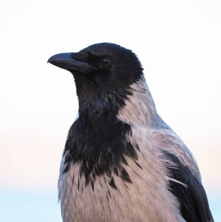 schein: crow in closeup shot