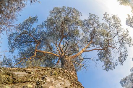 tree  pine: invierno pino corona
