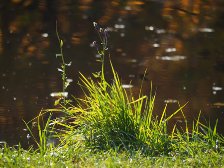 rushy: grass on the river bank