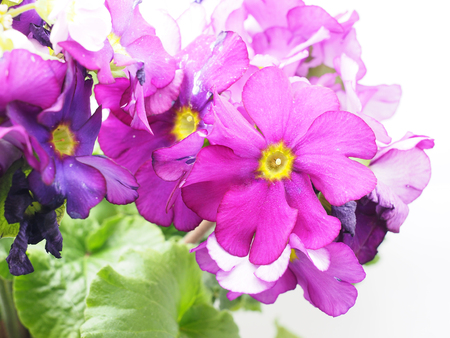 violet on a white background photo