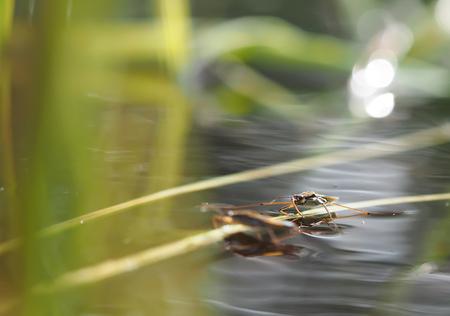 surface tension: pond skater