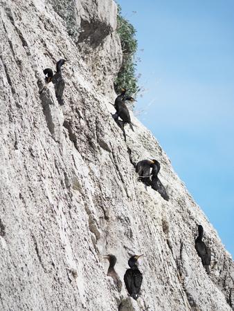 cormorants: colony of cormorants on the rocks