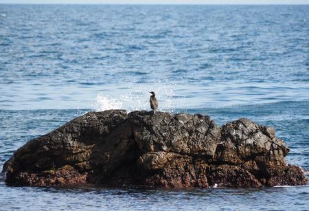phalacrocoracidae: colony of cormorants on the rocks